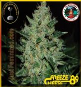 Brand New Big Buddha Strain Freeze Cheese 1989 out now!